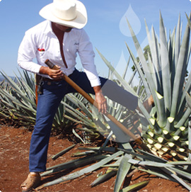 "Mature blue agave plants are hand harvested by a seasoned ""jimador"